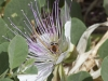 bee-and-caper-study-2012-07-25-5449-copy