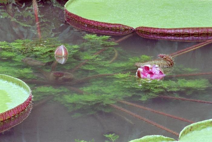 Waterlily Victoria amazonica - 1