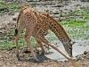 Baby Masai Giraffe 1