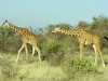 Reticulated Giraffe 2