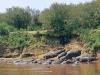 Herd of Hippos Along the Zambezi River