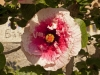 Plants in the Cities & Countryside of Sicily; Taormina - 1