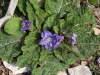 Plants in the Cities & Countryside of Sicily: Segesta - 1
