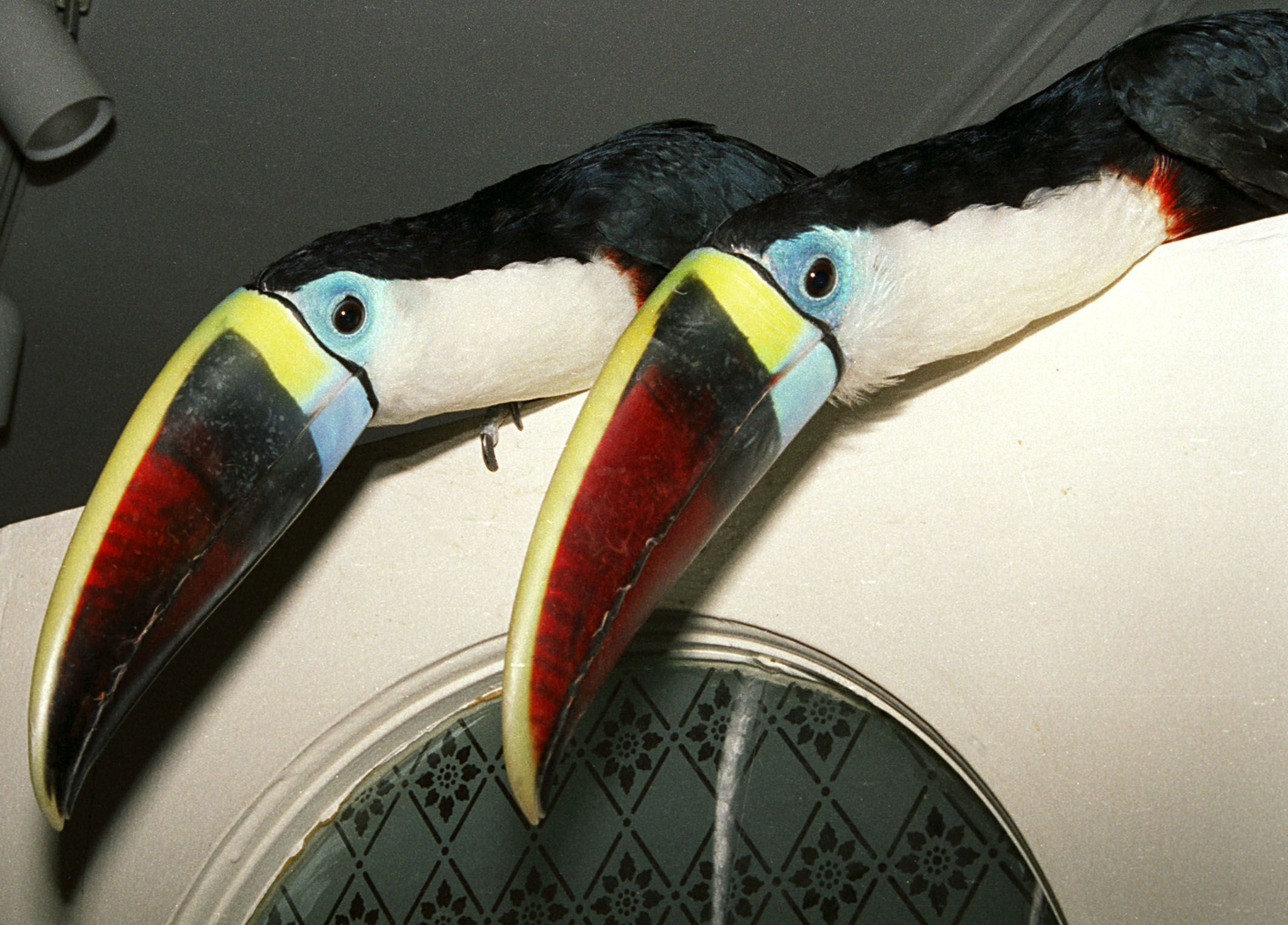 Red Billed Toucans 1