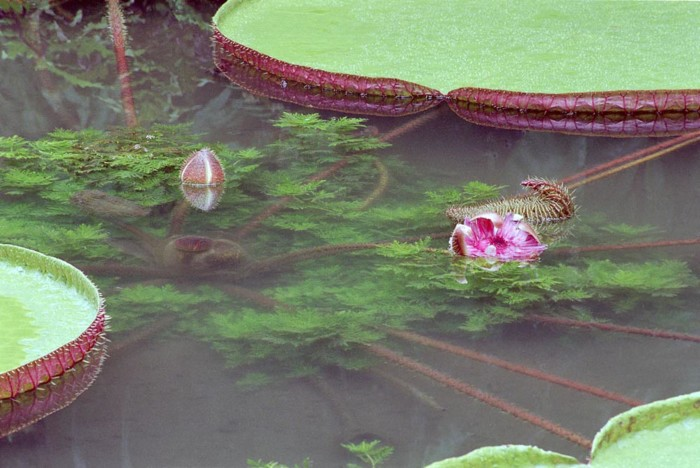 Brazil Waterlilies, 2004