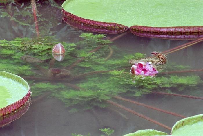 Brazil Waterlilies, 2004