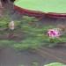 Brazil Waterlilies, 2004 thumbnail