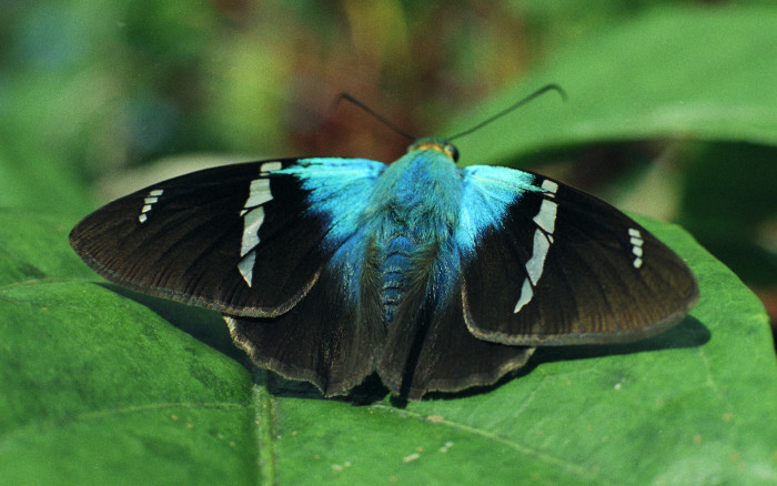 Butterfly in the Rainforest of Costa Rica, Costa Rica, 1985